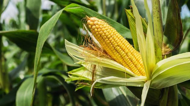 kukurice.jpg